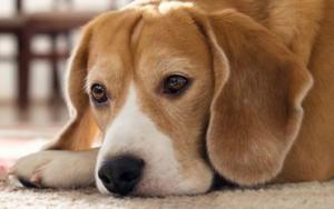 аллергия на слюну собак
