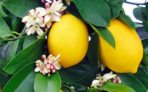 аллергия на цветущий лимон