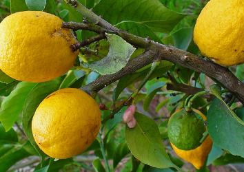 Как проявляется аллергия на лимон и чем ее лечить?
