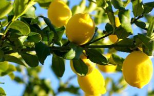 симптомы аллергии на лимон