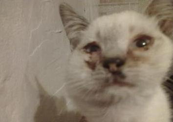 Опухла щека у кошки: самые распространенные причины