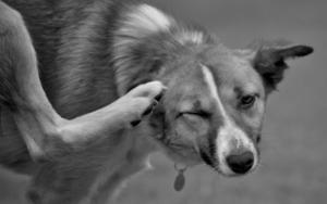 собака чешется и грызет себя