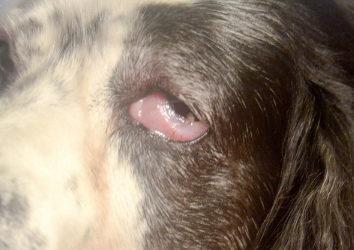 У собаки опух глаз: чем можно помочь животному?