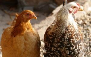 аллергия на куриные перья