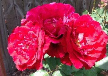 Бывает ли аллергия на розы?
